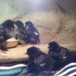 Kuřata v teráriu