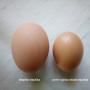 Mladá slepička snáší vajíčka